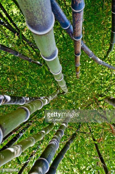 low angle view of phyllostachys nigra (black bamboo), hakone, japan - black bamboo stock pictures, royalty-free photos & images
