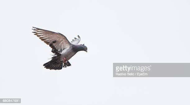 Low Angle View Of Pigeon Flying Against Clear Sky
