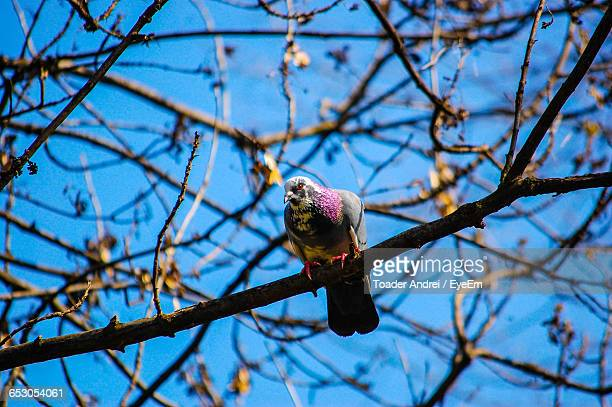Low Angle View Of Pigeon Perching On Bare Tree