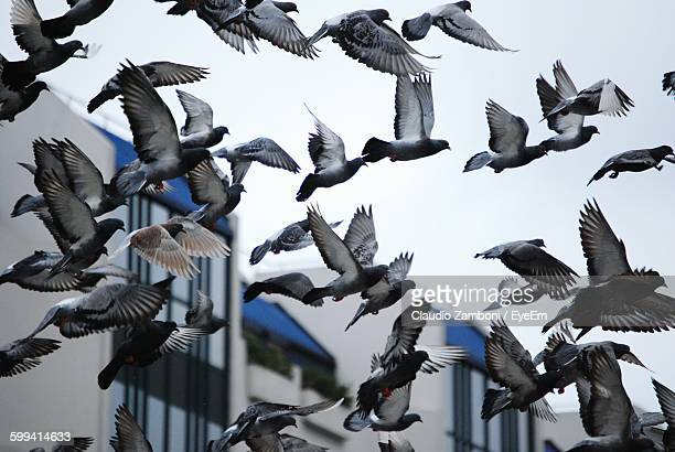 low angle view of pigeons flying against sky - pigeon stock pictures, royalty-free photos & images