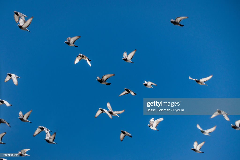 Low Angle View Of Pigeons Flying In Clear Blue Sky : Stock Photo
