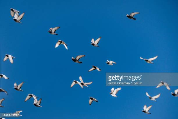 Low Angle View Of Pigeons Flying In Clear Blue Sky