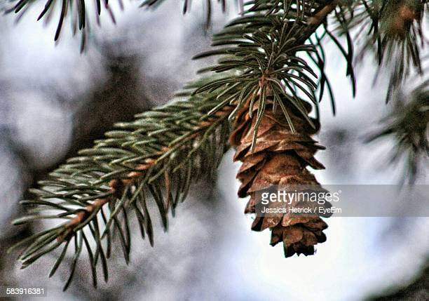 Low Angle View Of Pine Cone Growing On Tree