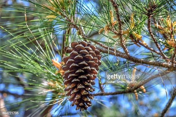 Low Angle View Of Pine Cone Hanging On Tree
