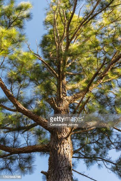 low angle view of pine tree against blue sky - pinaceae stock pictures, royalty-free photos & images