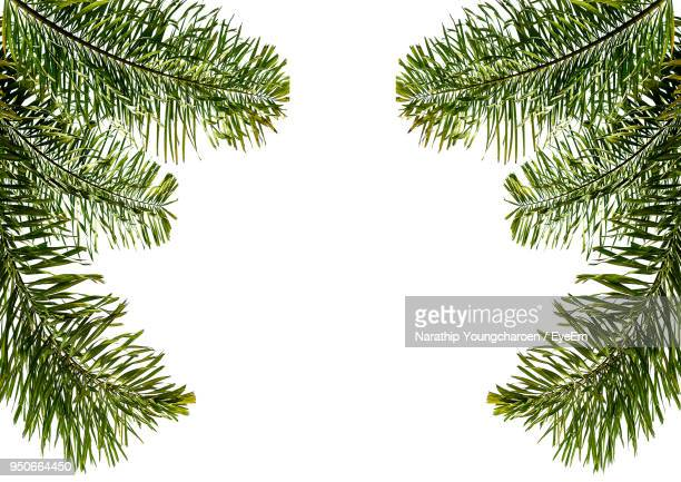 low angle view of pine tree against clear sky - palm branch stock pictures, royalty-free photos & images