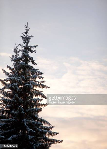 low angle view of pine tree against sky during sunset - paulien tabak stock pictures, royalty-free photos & images