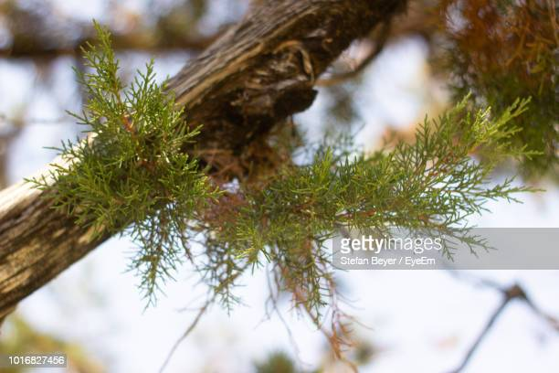 low angle view of pine tree - eyeem stock pictures, royalty-free photos & images