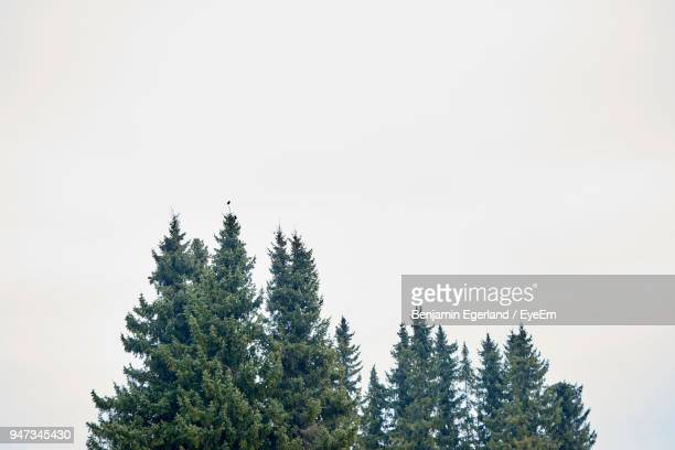 Low Angle View Of Pine Trees Against Clear Sky