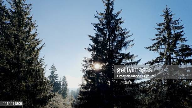 low angle view of pine trees against sky during winter - marica octavian stock photos and pictures
