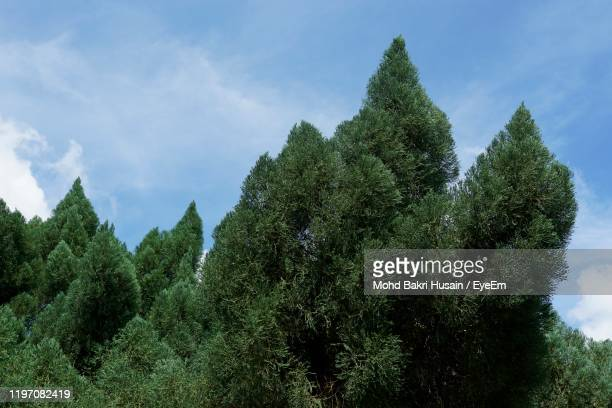 low angle view of pine trees against sky - pinaceae stock pictures, royalty-free photos & images