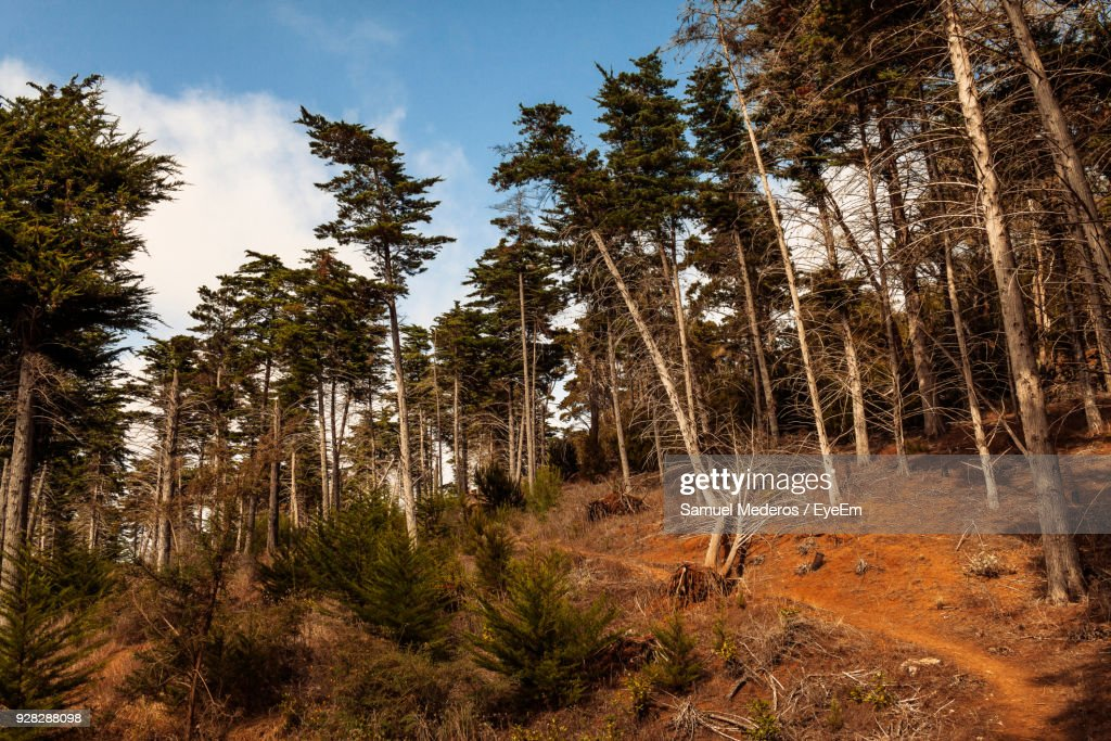 Low Angle View Of Pine Trees In Forest Against Sky : Foto de stock