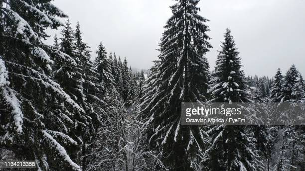 low angle view of pine trees in forest during winter - marica octavian stock photos and pictures