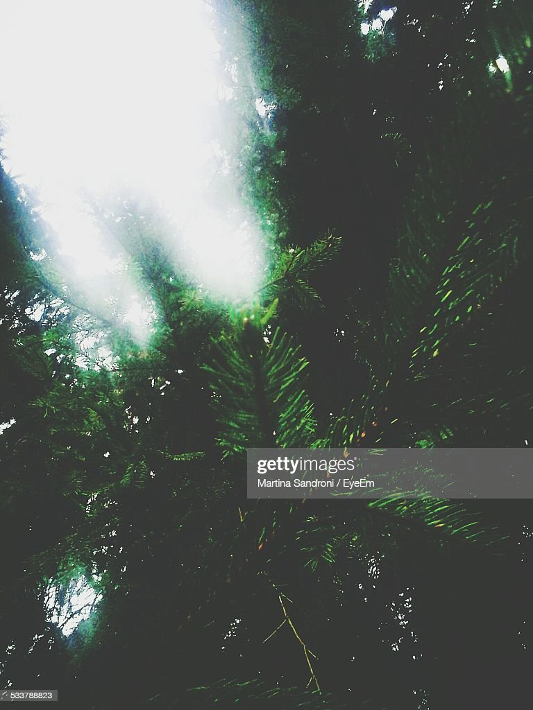 Low Angle View Of Pine Trees In Forest : Foto stock