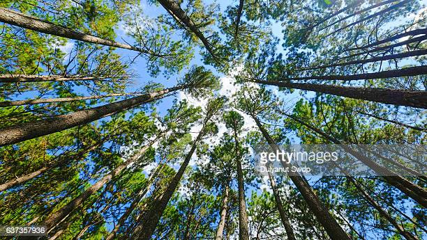 Low angle view of pine trees National park ,Chiang Mai, Thailand.