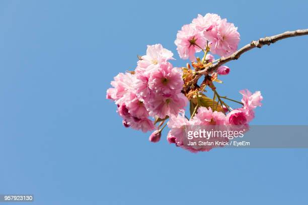 Low Angle View Of Pink Cherry Blossom Against Clear Sky
