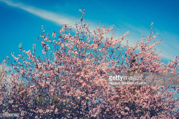 low angle view of pink cherry blossoms against sky - albrecht schlotter stock-fotos und bilder