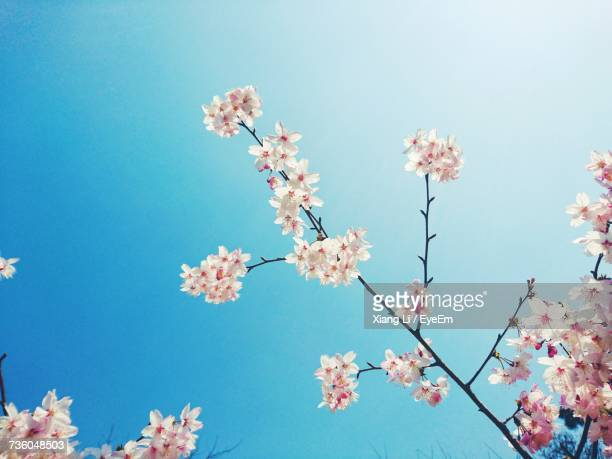 Low Angle View Of Pink Cherry Blossoms Against Sky