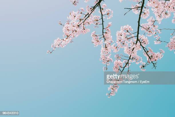 low angle view of pink cherry blossoms against sky - kirschblüte stock-fotos und bilder