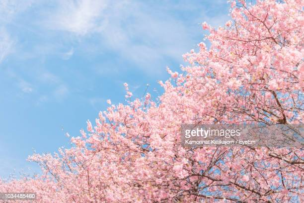low angle view of pink cherry blossoms in spring - 桜 ストックフォトと画像