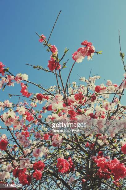 low angle view of pink cherry blossoms in spring - tomiko inoi ストックフォトと画像
