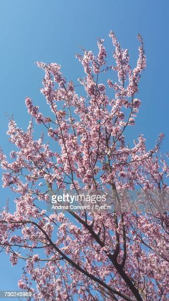 low angle view of pink cherry blossoms in spring - almond orchard stock photos and pictures