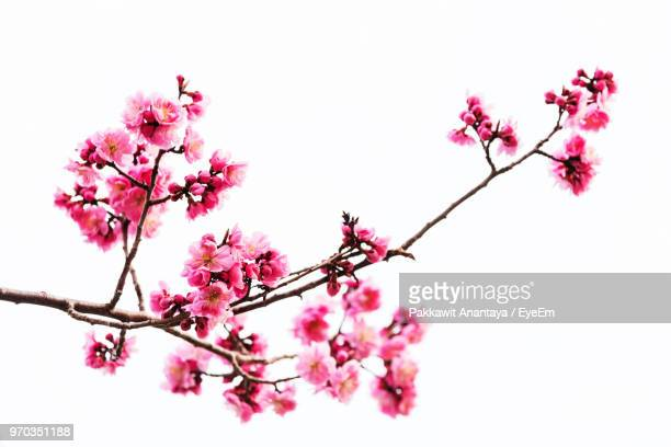 low angle view of pink cherry blossoms in spring - bocciolo foto e immagini stock