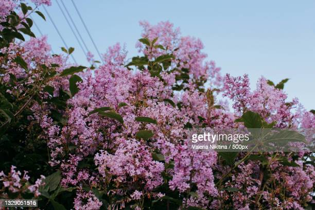 low angle view of pink cherry blossoms in spring,russia - nikitina stock pictures, royalty-free photos & images