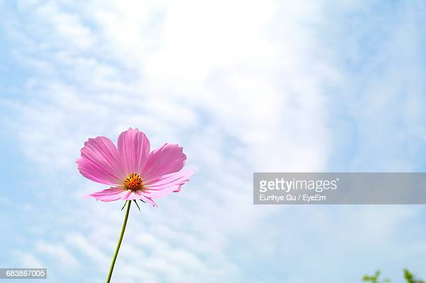 Low Angle View Of Pink Cosmos Blooming Against Sky