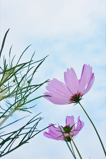 Low Angle View Of Pink Cosmos Flowers Against Sky - gettyimageskorea