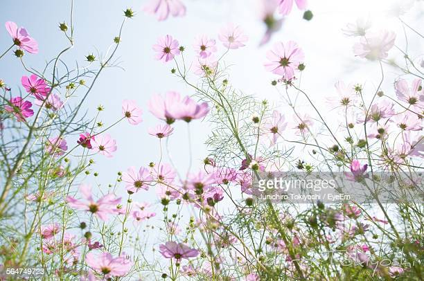 Low Angle View Of Pink Cosmos Flowers In Field
