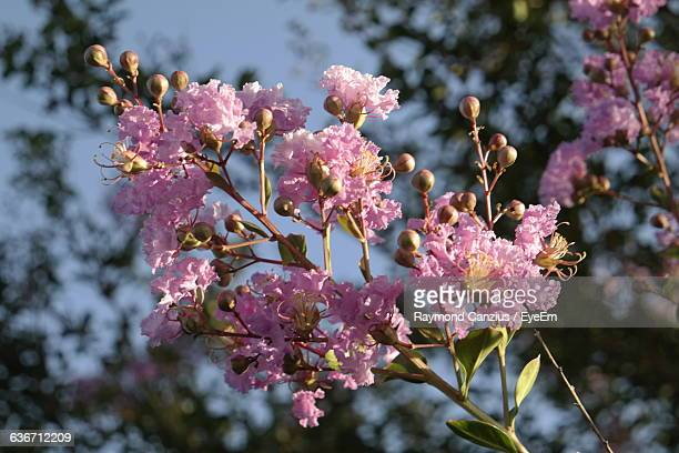 low angle view of pink crepe myrtle growing on tree - crepe myrtle tree stock pictures, royalty-free photos & images