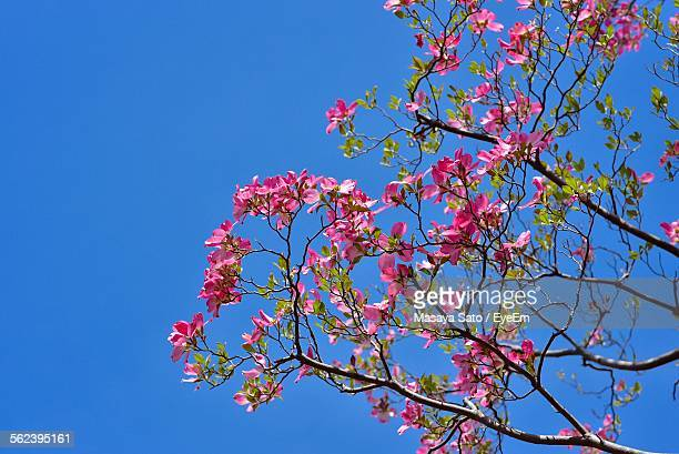 low angle view of pink dogwood flowers against sky - dogwood blossom stock pictures, royalty-free photos & images