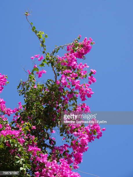 Low Angle View Of Pink Flower Tree Against Clear Blue Sky
