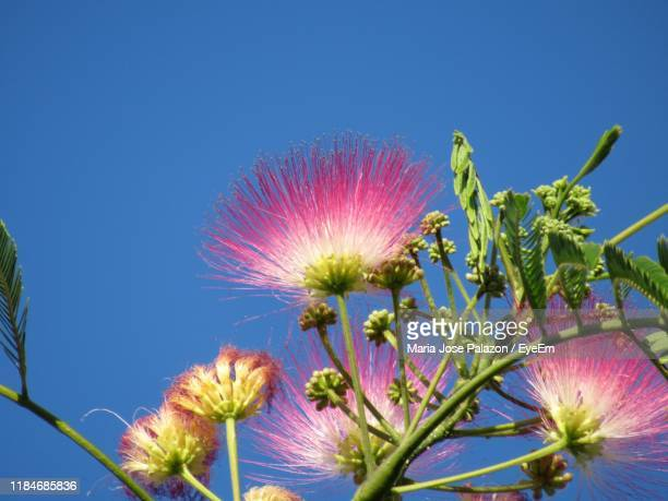 low angle view of pink flowering plant against blue sky - mimosa flower stock pictures, royalty-free photos & images