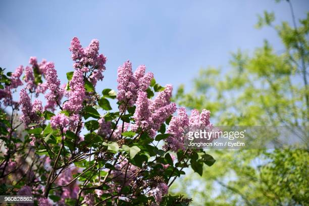 low angle view of pink flowering plant against sky - ライラック ストックフォトと画像