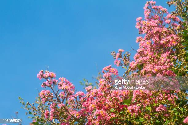 low angle view of pink flowering plants against blue sky - crepe myrtle tree stock pictures, royalty-free photos & images