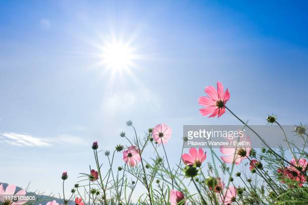 low angle view of pink flowering plants against blue sky - cosmos flower stock pictures, royalty-free photos & images