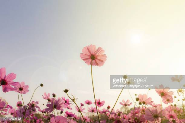 low angle view of pink flowering plants against sky - cosmos flower stock pictures, royalty-free photos & images