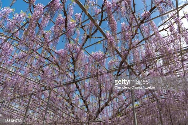 low angle view of pink flowering tree against sky - glycine photos et images de collection