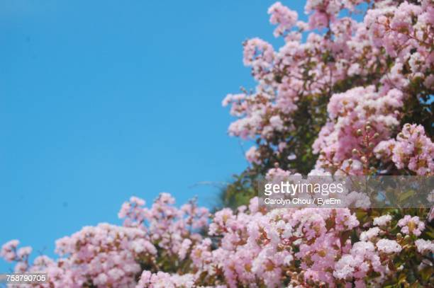 low angle view of pink flowers against clear blue sky - carolyn chou stock pictures, royalty-free photos & images