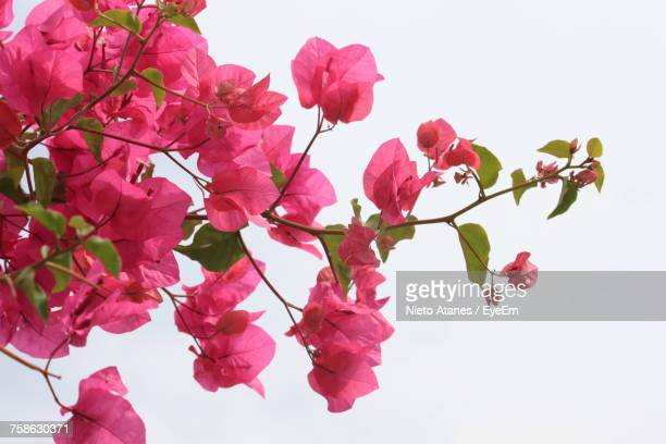 Bougainvillea stock photos and pictures getty images low angle view of pink flowers blooming on tree against sky mightylinksfo