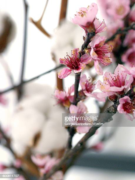 low angle view of pink flowers blooming on tree - peach blossom stock pictures, royalty-free photos & images
