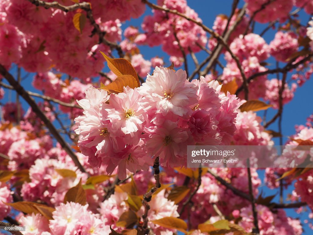 Low Angle View Of Pink Flowers Blooming On Tree Stock Photo Getty