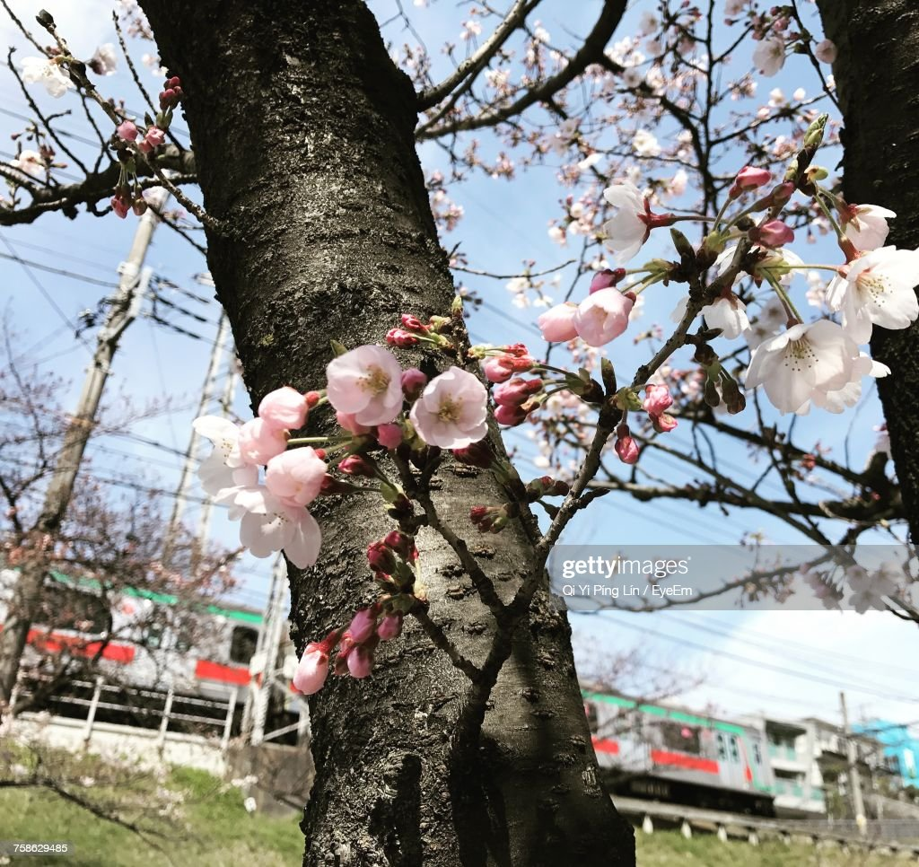 Low angle view of pink flowers blooming on tree stock photo getty low angle view of pink flowers blooming on tree stock photo mightylinksfo