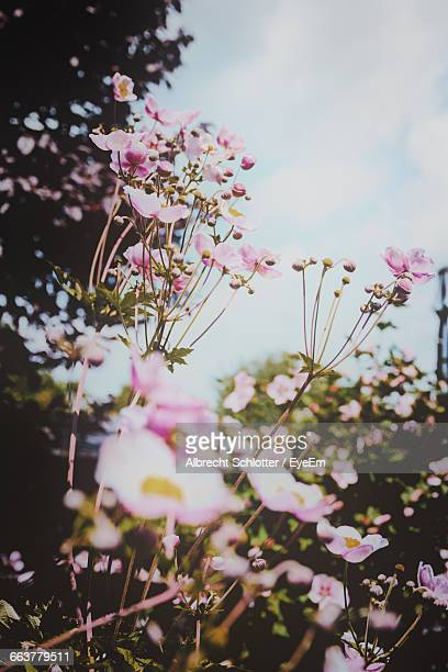 low angle view of pink flowers blooming outdoors - albrecht schlotter stock-fotos und bilder