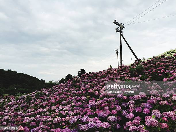 low angle view of pink flowers growing on hill - mie prefecture stock pictures, royalty-free photos & images