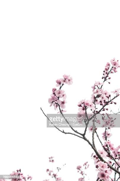 low angle view of pink flowers on branch - bloesem stockfoto's en -beelden