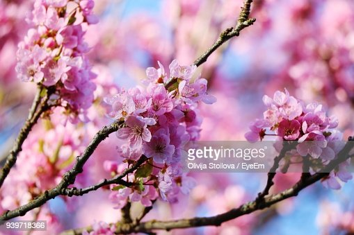 Closeup of pink flowers on tree stock photo getty images keywords mightylinksfo Choice Image