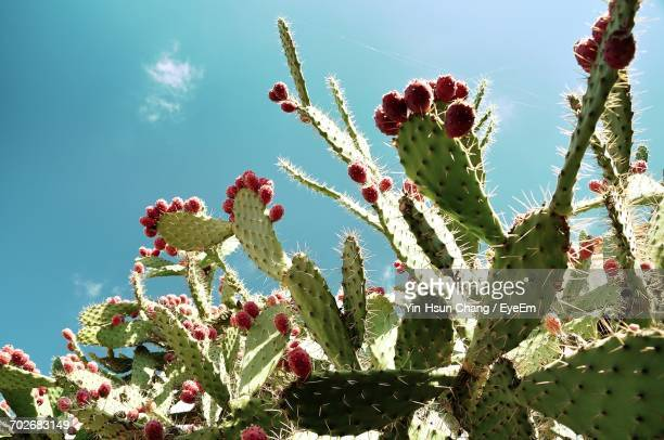 low angle view of pink flowers - prickly pear cactus stock photos and pictures